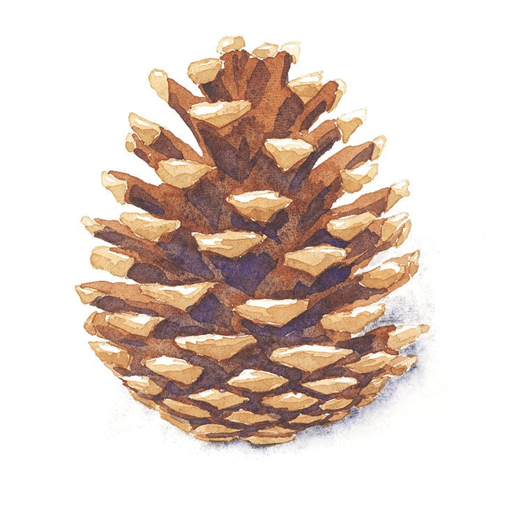 watercolor pine cone painting exercise
