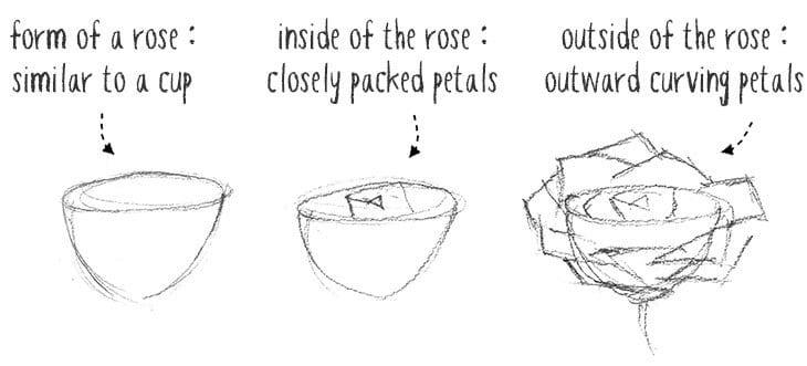 rose anatomy sketches