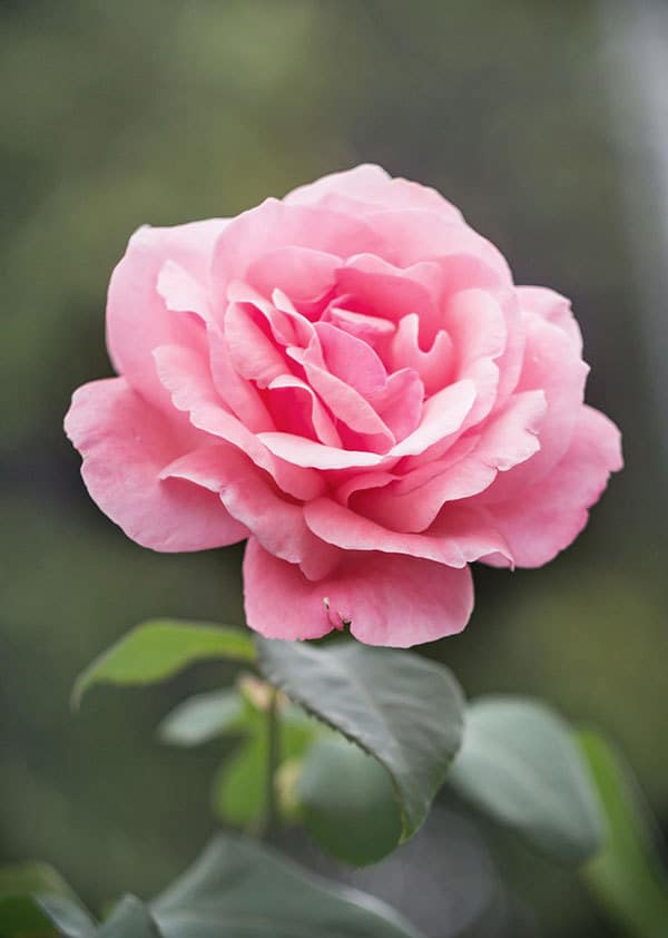 rose reference photo